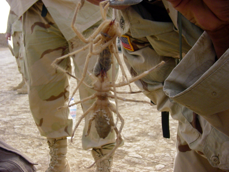 Giant Camel Spider in Iraq Desert